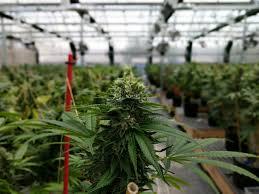 Cannabis Company Set To Open Hybrid Greenhouse